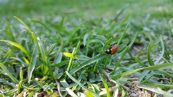 Ladybug, Beautiful, Summer, Grass, Insect