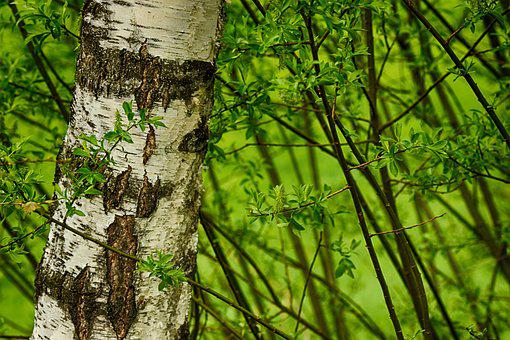 Tree, Wood, Birch, Spring, Green, Nature
