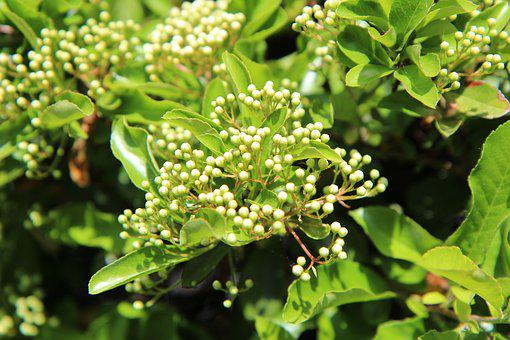 Pyracantha, Pyracantha Shrub, Flowers Pyracantha, Hedge