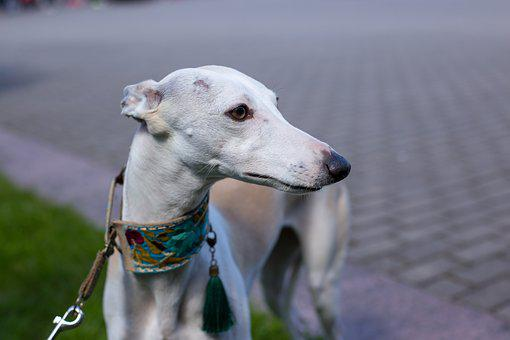 Dog, Collar, Homemade, Hound, Agility, Breed, Animal