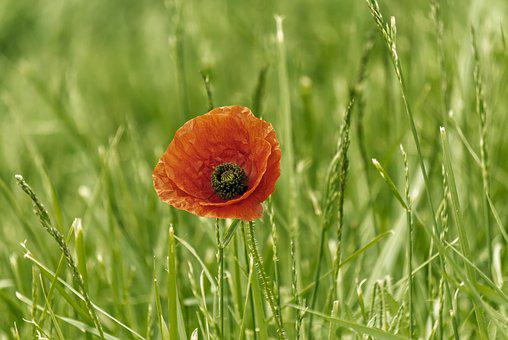 Klatschmohn, Plant, Flower, Red, Poppy, Blossom, Bloom
