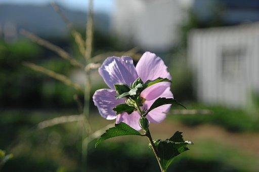 Rose Of Sharon, Korean Flower