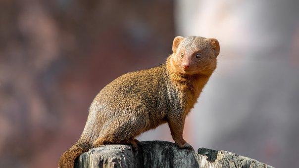 Zwergmanguste, Mongoose, Meerkat, Wildlife Photography