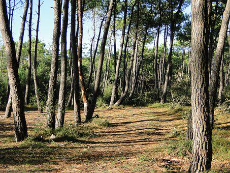 Pine, Nature, Maritime Pine, Forest, Side