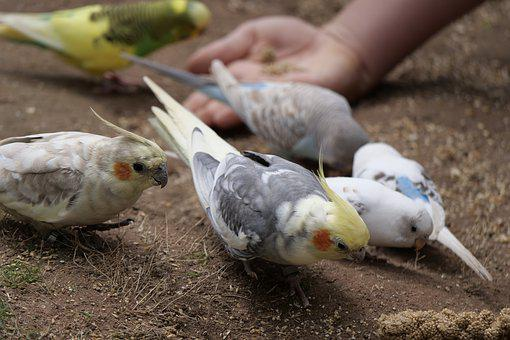 Nymphs Parakeet, Parakeet, Spring Bonnet, Bird