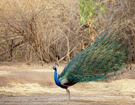 Dancing, Peacock, Indian, Bird, Banswara, Bharat