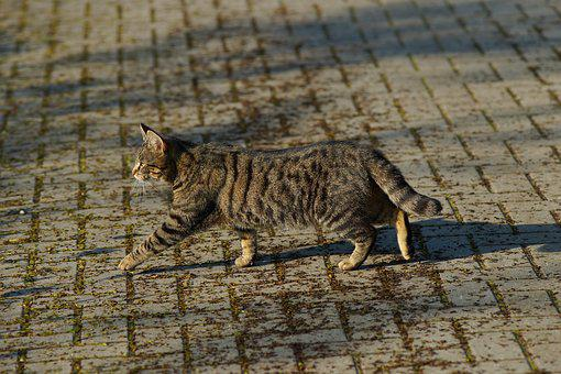 Cat, Female, Lucky Cat, Domestic Cat, Animal, Pet