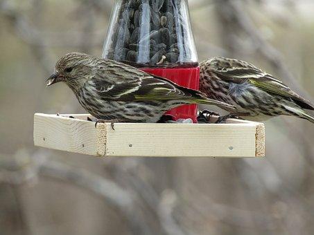 Bird, Pine Siskin, Wildlife, Wild, Avian, Perched
