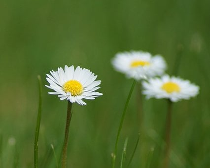 Nature, Meadow, Grass, Plant, Field, Geese Flower