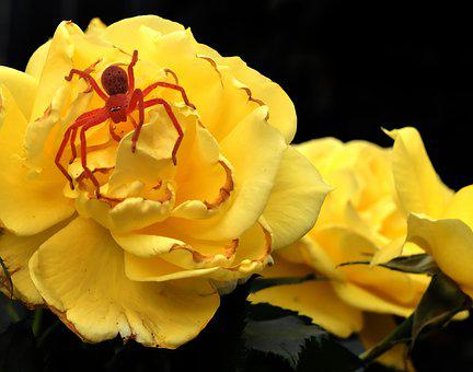Yellow Rose, Rose, Spider, Nature, Flower, Plant