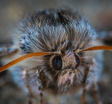Moth, Fur Coat, Macro, Portrait, Insect