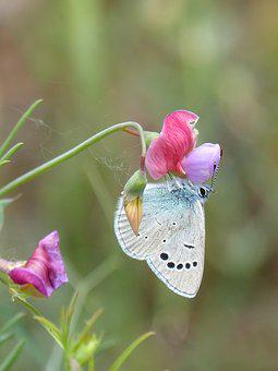 Blue Butterfly, Pseudophilotes Panoptes
