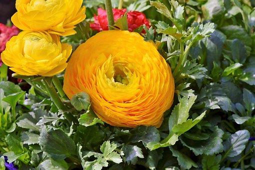 Ranunculus, Orange Ranunkel, Orange, Spring Flower