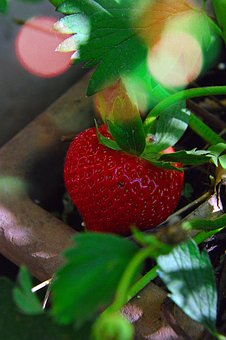Strawberry, Fruit, Ripe Fruit, Red, Red Strawberries