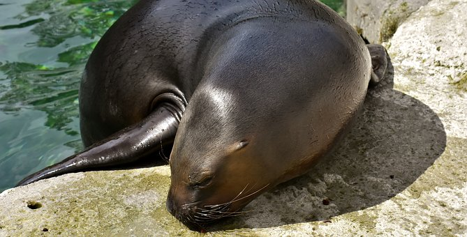 Seal, Sea Lion, Eat, Snout, Swim, Water, Robbe
