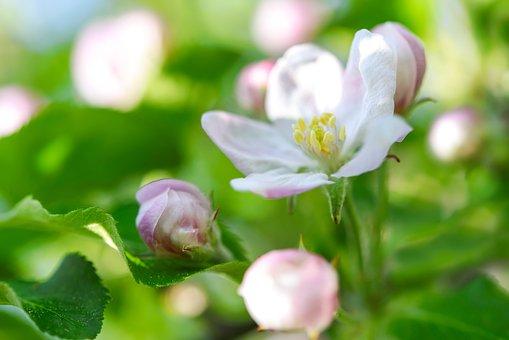 Spring Background, Flowering Crabapple, Apple Flower