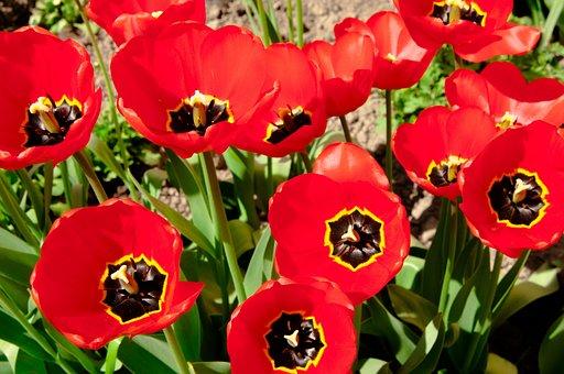 Tulips, Tulip, Flowers, Closeup, Spring Flowers, Flower