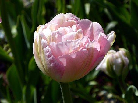 Tulip, Flower, Pink, Lily, Spring, Petals, Garden