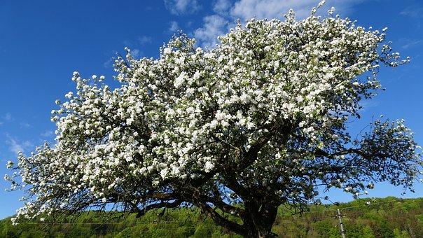 Landscape, Nature, Blossom, Bloom, Apple Tree, Sun