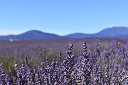 Australia, Tasmania, Lavender Fields, Blue Sky
