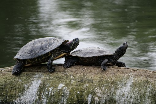 Turtles, Nature, Water Turtle, Tortoise Shell, Waters
