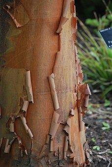 Tree, Peeling, Release, Tree Trunk, Bark, Tribe, Nature
