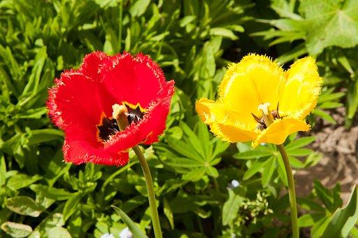 Tulips, Tulip, Flowers, Closeup, Double Tulip