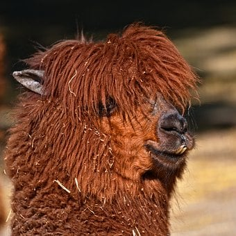 Alpaca, Vicugna Pacos, Animal, Mammal, Domestic, Teeth