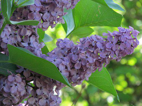 Lilac, Spring, Violet, Nature, Without Lilak