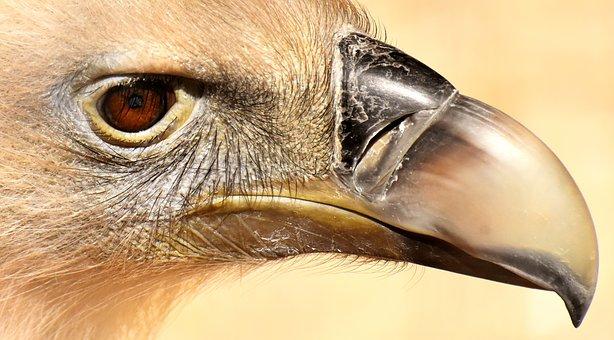 Vulture, Bird, Bird Of Prey, Scavengers, Raptor, Animal