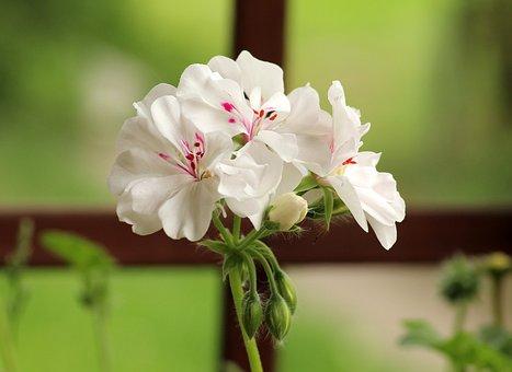 Geranium, Flowerpots, White Flower, Houseplant