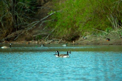 Duck, Bird, Animal, Nature, Wild, Wildlife, Water, Beak