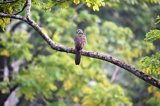 Dove, Bird, Nature, Natural, Woods, Tree, Branch