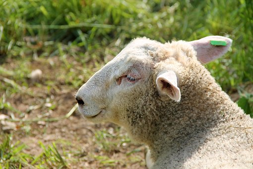 Lamb, Sheep, Schäfchen, Wool, Young, Pasture, Meadow