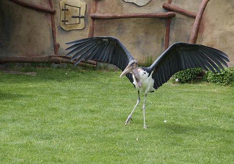 Marabu, Animal World, Scavengers, Adjutant Bird