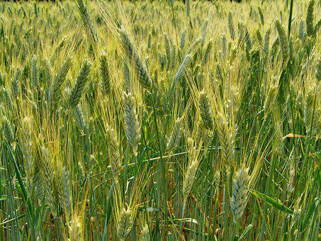 Wheat Field, Wheat Ear, Agriculture