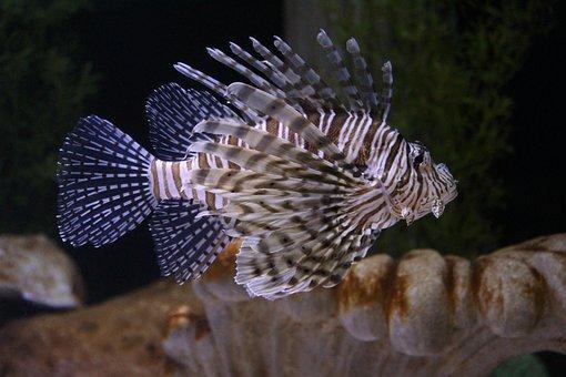 Lion Fish, Saltwater Fish, Aquarium, Marine, Animal