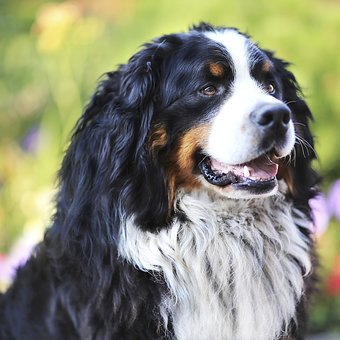 Dog, Bernese Shepherd, Shepherd, Man's Best Friend