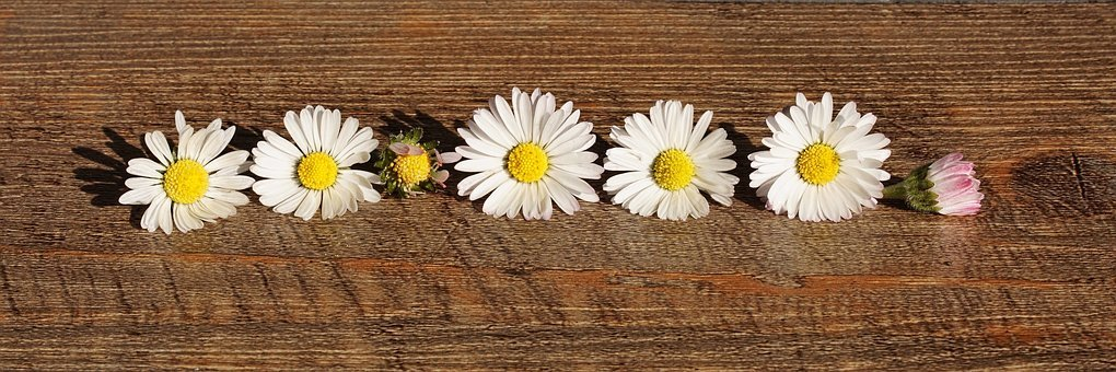 Daisy, Flowers, Public Record, Blossom, Bloom, White