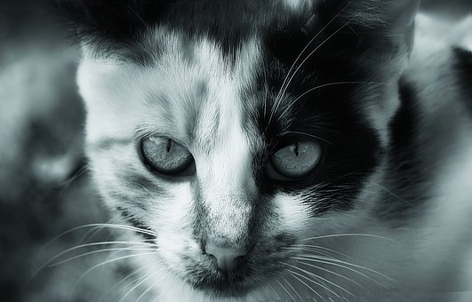 Cat, Animal, Black And White, Cute, Pet, Domestic