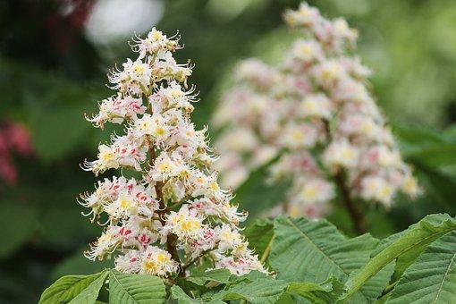 Chestnut, Chestnut Blossom, Castanea, Fagaceae, Blossom