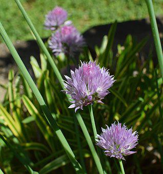 Chives, Herb, Blossom, Bloom, Plant, Culinary, Edible
