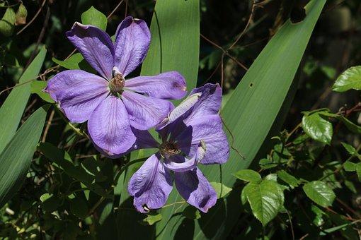 Clematis, Flower Vine, Creeper, Blue Flower, Flowering
