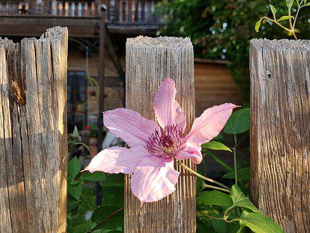 Clematis, Flower, Fence, Blossom, Bloom, Climber