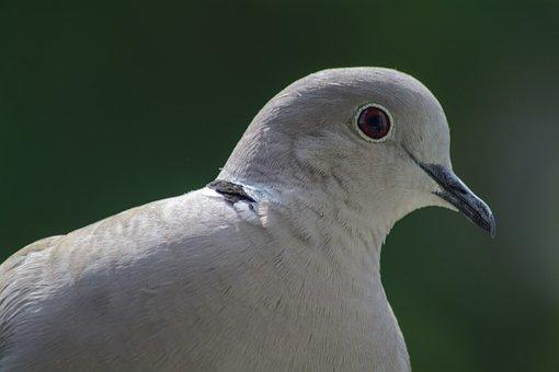 Dove, Collared, Portrait, Bird, Nature