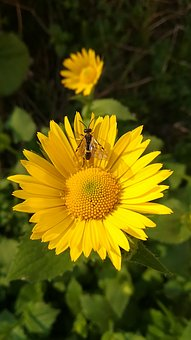 Daisy, Fly, Insect, Colorfully, Sun, Yellow, Nature