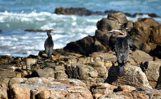 Seabird, Cormorant, Ocean, Marine Fauna, Cape Agulhas