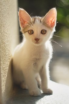 Kitty, Cat, Animal, Cute, Pet, Kitten, Domestic, Young