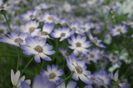 Flower, Marguerite, Daisies Purple