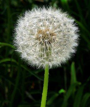 Dandelion, Sun Swirls, Seeds, Dandelion Seeds, Plant